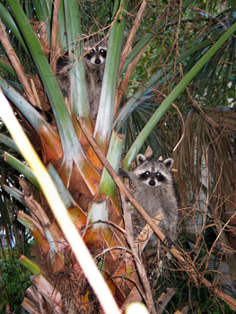 Raccoons climbing the palm trees in my front yard