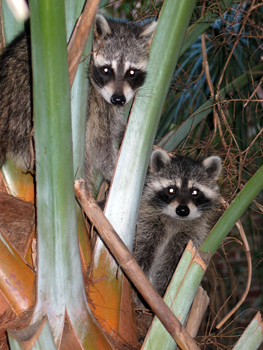 Beady little eyes shine back at me from between the palm fronds
