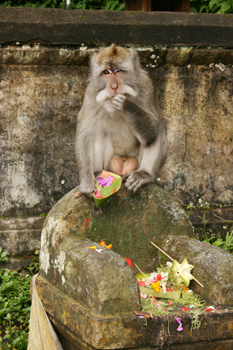 Aggressive monkey at a roadside offering in Bali