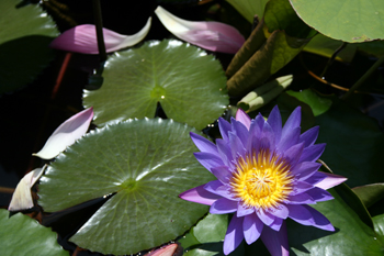 lotus flowwer at a temple in bali