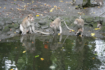 Three monkeys look at their reflection in a pond ubud bali