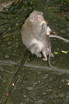 Monkeys run free at the Sacred Monkey Forest Sanctuary in Ubud Bali