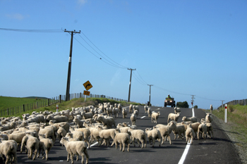 No traffic lights, but lots of sheep in the Northlands of New Zealand