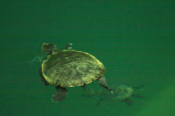 Saw shell turtles at Eachem Lake in Crater Lake National Park Atherton Tablelands Cairns Australia