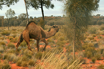 Feral camels populate the Australian outback