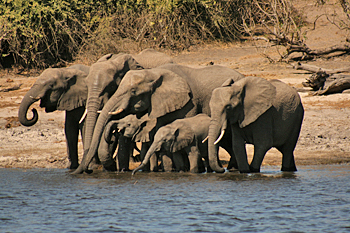 Elephants gather around the young as they drink and bathe in Chobe National Park Botswana