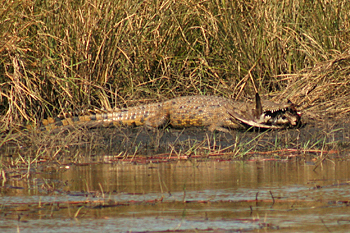 Crocodile with bird in mouth in Chobe National Park Botswana