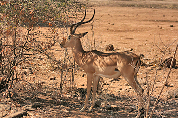 Hundreds of impala, both alone and in herds in Chobe National Park Botswana