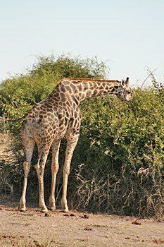 Giraffe in Chobe National Park Botswana