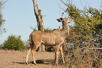 Female Kudu in Chobe National Park Botswana