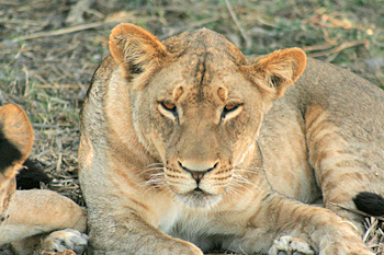 Pride of lions in Chobe National Park Botswana