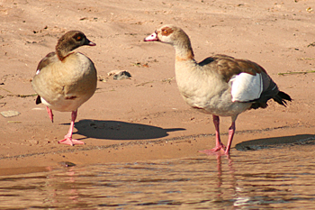 Egyptian Geese in Chobe National Park Botswana