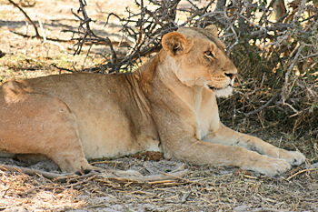 Lion in Chobe National Park Botswana