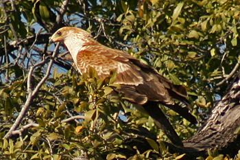 Harrier Hawk in Chobe National Park Botswana