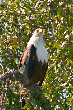 African Fish Eagle in Chobe National Park Botswana