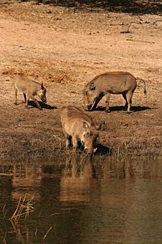 Warthogs drinking by the shore in Chobe National Pak Botswana
