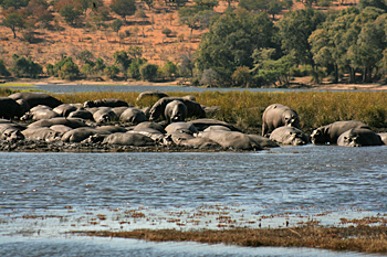 A school of hippo sunk in the mud up to their bellies, lying all over one another in Chobe National Park Botswana
