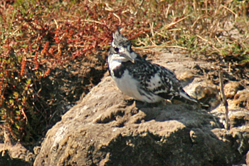Pied Kingfisher in Chobe National Park Botswana