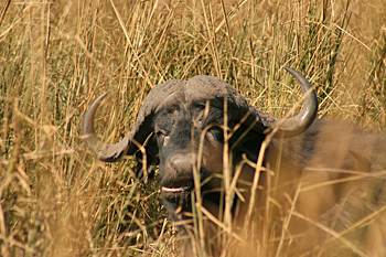 Cape Water Buffalo in Chobe National Park Botswana