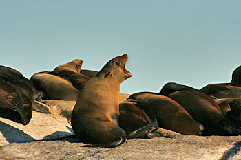 The sea lion community on the small rock islands near Hout Bay South Africa