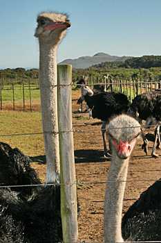 Ostrich farming on the Cape Peninsula in South Africa