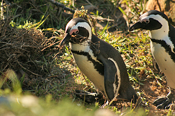 The African Penguin colony on the Cape peninsula