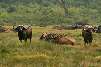 Cape Water Buffalo in Arusha National Park Tanzania