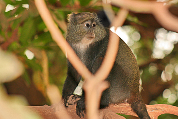 Blue monkeys on safari in Tanzania