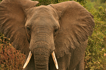 Elephant in Lake Manyara National Park Tanzania