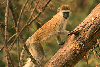 Vervet monkeys on safari in Tanzania