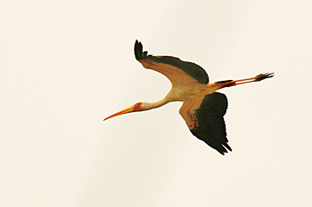 Yellow Billed Stork Tanzania safari