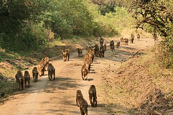 Baboons stream toward a watering hole Lake Manyara National Park Tanzania