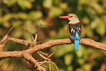 Grey Headed Kingfisher on safari in Tanzania
