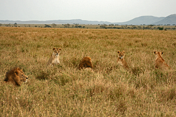 Pride of lions rests in the tall Serengeti grasses Tanzania