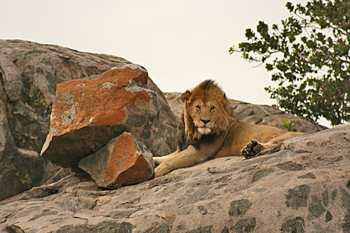 Male lion atop a rock kopje in Serengeti National Park Tanzania