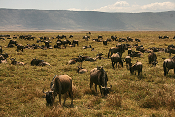 Wildebeest as far as the eye can see in Ngorongoro Crater Tanzania