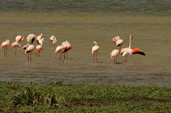 Flocks of flamingo so pink they were almost red n Ngorongoro Crater Tanzania