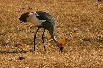 Ground crane with their whisk broom topknots Ngorongoro Crater Tanzania