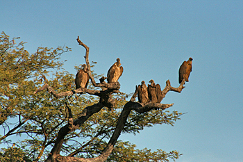 Vultures in a tree in Zambezi National Park, awaiting a meal