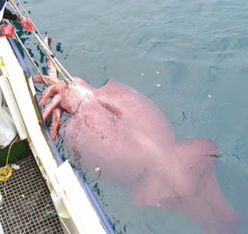 colossal squid dissection