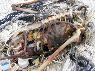 Decaying body of Albatross shows the amount of plastic garbage it had ingested