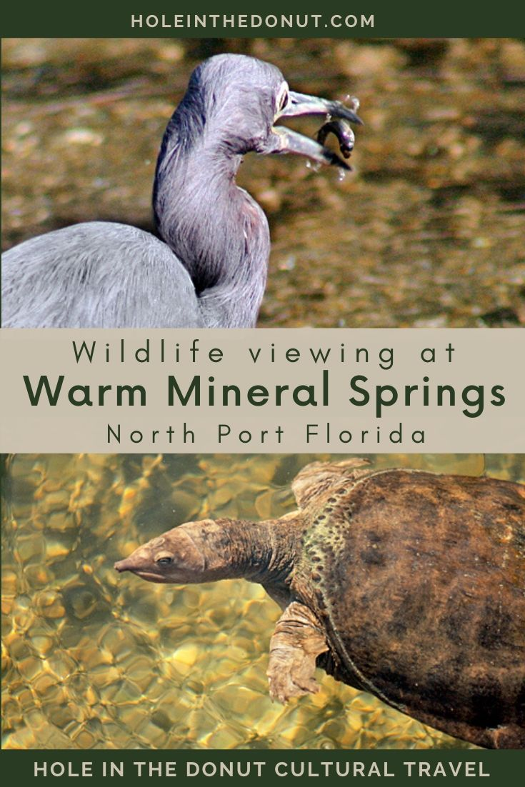 """""""Taking The Waters"""" At Warm Mineral Springs In North Port, Florida"""