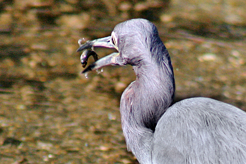warm_mineral_springs_blue_heron