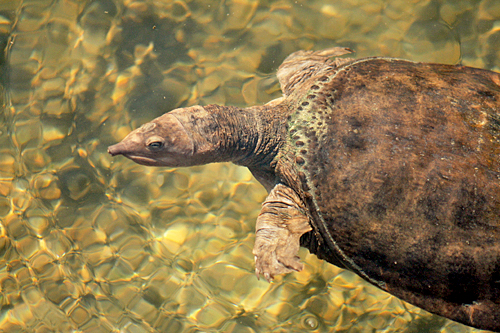 warm_mineral_springs_turtle