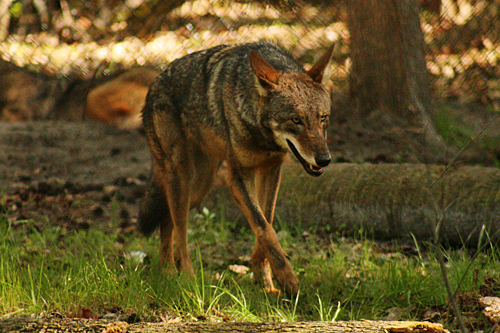 homosassa_springs_state_park_red_wolf