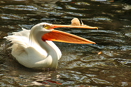 homosassa_springs_state_park_white_pelican