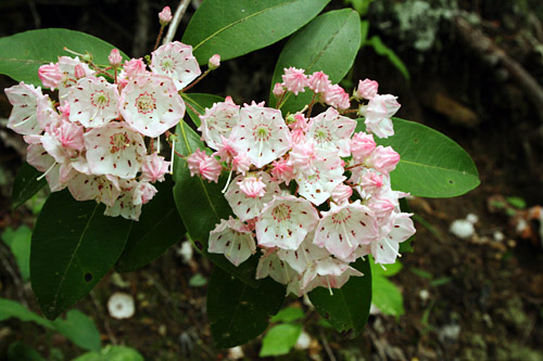 brevard-dupont-state-forest-mountain-laurel
