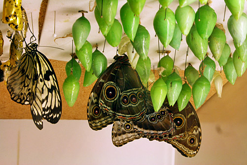 callaway_butterfly_center2