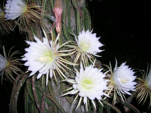 night-blooming-cereus