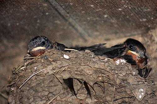 Cades_Cove_Swallows